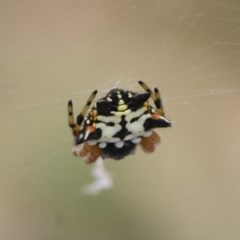 Austracantha minax (Christmas Spider, Jewel Spider) at Michelago, NSW - 14 Dec 2019 by Illilanga