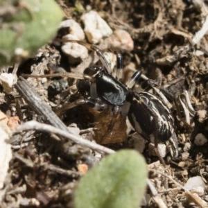 Habronestes sp. (genus) at Michelago, NSW - 22 Dec 2018