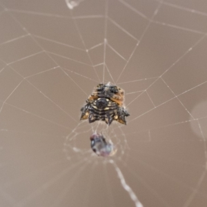 Austracantha minax at Illilanga & Baroona - 22 Dec 2018