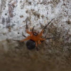 Nicodamidae sp. (family) at Illilanga & Baroona - 17 Mar 2019