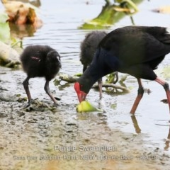 Porphyrio porphyrio (Purple Swamphen) at Wairo Beach and Dolphin Point - 7 Dec 2019 by CharlesDove