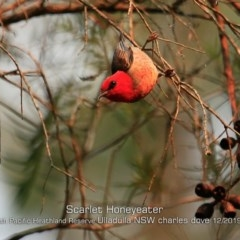 Myzomela sanguinolenta (Scarlet Honeyeater) at South Pacific Heathland Reserve - 6 Dec 2019 by Charles Dove