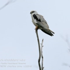 Elanus axillaris (Black-shouldered Kite) at South Pacific Heathland Reserve - 13 Dec 2019 by Charles Dove