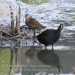 Gallinula tenebrosa (Dusky Moorhen) at Wairo Beach and Dolphin Point - 10 Dec 2019 by CharlesDove