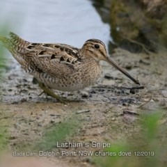 Gallinago hardwickii (Latham's Snipe) at Wairo Beach and Dolphin Point - 10 Dec 2019 by Charles Dove