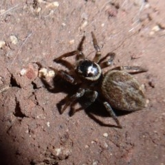 Hypoblemum griseum (A jumping spider) at Flynn, ACT - 23 Dec 2019 by Christine