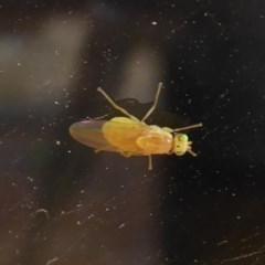 Lauxaniidae sp. (family) (Unidentified lauxaniid fly) at Flynn, ACT - 21 Dec 2019 by Christine