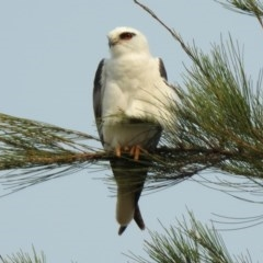 Elanus axillaris (Black-shouldered Kite) at Jerrabomberra Wetlands - 23 Dec 2019 by RodDeb