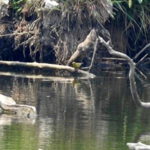 Chloris chloris at Jerrabomberra Wetlands - 24 Dec 2019