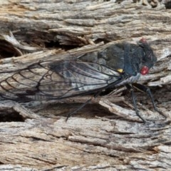Psaltoda moerens (Redeye Cicada) at Jerrabomberra Wetlands - 23 Dec 2019 by RodDeb