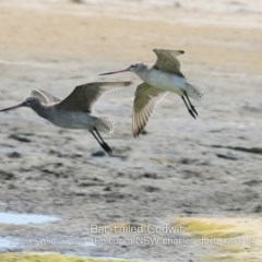 Limosa lapponica (Bar-tailed Godwit) at Jervis Bay National Park - 17 Dec 2019 by Charles Dove