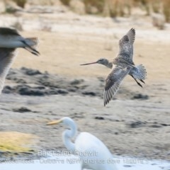 Limosa lapponica at Jervis Bay National Park - 18 Dec 2019
