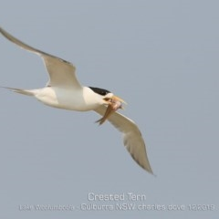 Thalasseus bergii (Crested Tern) at Jervis Bay National Park - 17 Dec 2019 by Charles Dove