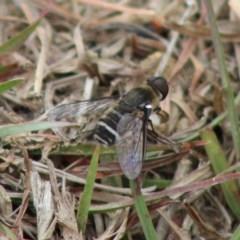 Villa sp. (genus) (Unidentified Villa bee fly) at Mongarlowe River - 23 Dec 2019 by LisaH