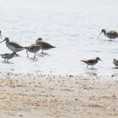 Calidris canutus (Red Knot) at Jervis Bay National Park - 17 Dec 2019 by Charles Dove