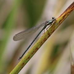 Austroargiolestes icteromelas (Common Flatwing) at Mongarlowe, NSW - 23 Dec 2019 by LisaH