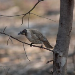 Philemon corniculatus (Noisy Friarbird) at Hughes Grassy Woodland - 24 Dec 2019 by LisaH