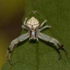 Zygometis xanthogaster (Crab spider or Flower spider) at Higgins, ACT - 26 Dec 2019 by AlisonMilton