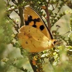 Heteronympha solandri (Solander's Brown) at Namadgi National Park - 26 Dec 2019 by JohnBundock