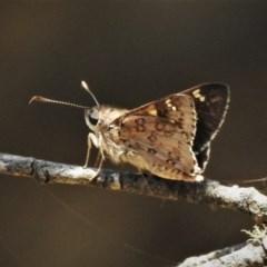 Trapezites phigalioides (Montane Ochre) at Namadgi National Park - 26 Dec 2019 by JohnBundock
