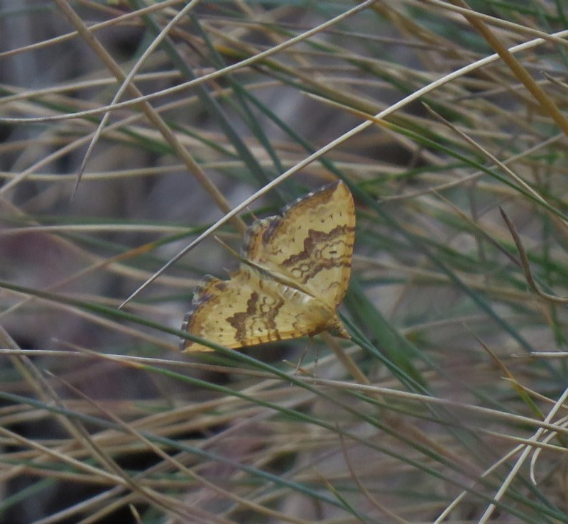Chrysolarentia correlata at Namadgi National Park - 27 Dec 2019