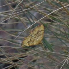 Chrysolarentia correlata (Yellow Carpet) at Namadgi National Park - 26 Dec 2019 by SandraH