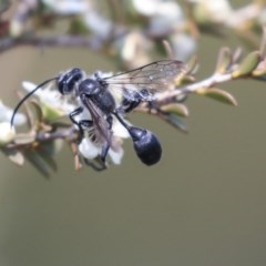 Isodontia sp. (genus) (Unidentified Grass-carrying wasp) at Gungahlin, ACT - 27 Dec 2019 by AlisonMilton