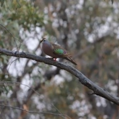 Phaps chalcoptera (Common Bronzewing) at Mount Painter - 27 Dec 2019 by Tammy