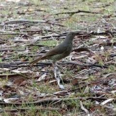 Ptilonorhynchus violaceus (Satin Bowerbird) at Alpine, NSW - 18 Nov 2017 by JanHartog