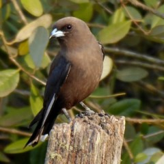Artamus cyanopterus cyanopterus (Dusky Woodswallow) at Brogo, NSW - 27 Dec 2019 by MaxCampbell
