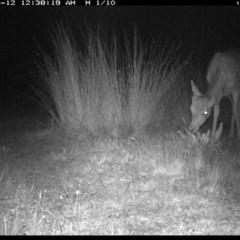 Dama dama (Fallow Deer) at Illilanga & Baroona - 11 Dec 2019 by Illilanga