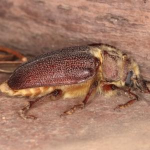 Sceleocantha glabricollis at Kambah, ACT - 27 Dec 2019