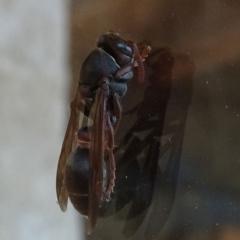 Ropalidia plebeiana at Brogo, NSW - 28 Dec 2019