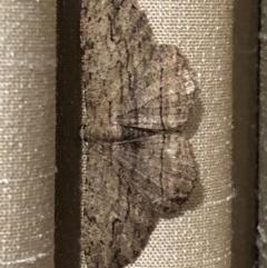 Ectropis excursaria (Common Bark Moth) at Monash, ACT - 7 Dec 2019 by jackQ
