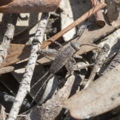 Eurepa marginipennis (Mottled bush cricket) at Bruce, ACT - 11 Sep 2019 by AlisonMilton