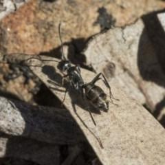 Camponotus sp. (genus) (A sugar ant) at Bruce, ACT - 11 Sep 2019 by AlisonMilton