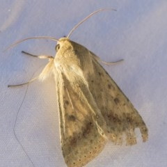 Helicoverpa (genus) (A bollworm) at Higgins, ACT - 11 Sep 2019 by AlisonMilton