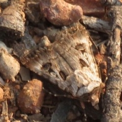 Agrotis munda (Brown Cutworm) at Curtin, ACT - 25 Dec 2019 by RobParnell