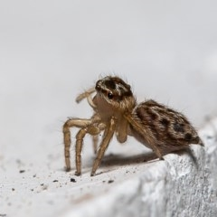 Hypoblemum griseum (A jumping spider) at Macgregor, ACT - 29 Dec 2019 by Roger