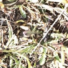 Oedaleus australis (Australian Oedaleus) at Kosciuszko National Park - 26 Dec 2019 by Jubeyjubes