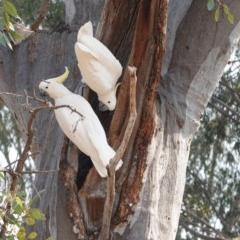 Cacatua galerita (Sulphur-crested Cockatoo) at Hughes Grassy Woodland - 26 Dec 2019 by JackyF
