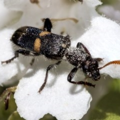 Eleale pulchra (Clerid beetle) at ANBG - 4 Dec 2019 by AlisonMilton
