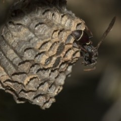 Ropalidia plebeiana (Small brown paper wasp) at ANBG - 2 Dec 2019 by AlisonMilton