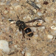 Eumeninae sp. (subfamily) (Unidentified Potter wasp) at ANBG - 2 Dec 2019 by AlisonMilton