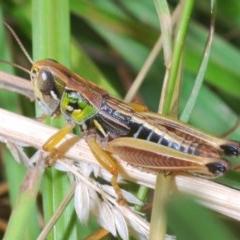 Kosciuscola cognatus (A grasshopper) at Nimmo, NSW - 29 Dec 2019 by Harrisi