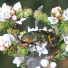 Castiarina dimidiata (A jewel beetle) at Snowy Plain, NSW - 29 Dec 2019 by Harrisi