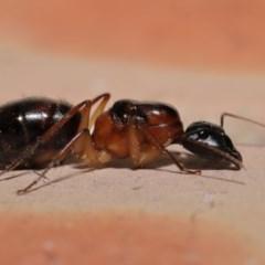Camponotus sp. (genus) (A sugar ant) at Evatt, ACT - 26 Dec 2019 by TimL