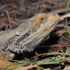 Pogona barbata (Eastern Bearded Dragon) at ANBG - 27 Dec 2019 by Tim L