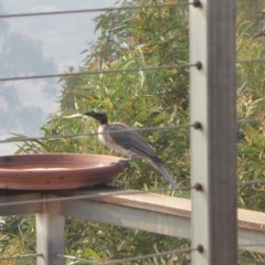 Philemon corniculatus (Noisy Friarbird) at Rugosa at Yass River - 29 Dec 2019 by SenexRugosus