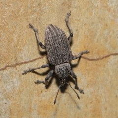 Rhinaria granulosa (Weevil) at ANBG - 27 Dec 2019 by TimL